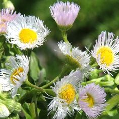 The genus Erigeron, commonly called fleabanes, is quite large. Appearing much like asters, they bloom earlier in the season, helping to extend the 'daisy' season. They are also ideal for the butter...