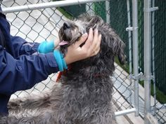 ***SUPER URGENT*** 03/06/17 - OZAKI – 1 years old - Schnauzer, Wheaten Terrier Mix - A1104259 - #A1104259 - FOR MORE PICS, VIDEOS & INFO: http://nycdogs.urgentpodr.org/ozaki-a1104259/
