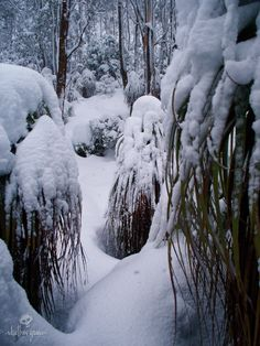 Buried Pandanis, resemble frozen Daleks... When mega fronts blast directly from Antarctica to us, this is what you get... mental cover. To clarify deep, These are large Richea Pandanifolia or 'Pandanis' all 3m plus tall and the track is normally clear between them. Not today, it's buried chest deep in fresh & there are 50cm pillows ontop of all the pandanis. Lake Dobson track Mt.Field, Tasmania. 31.8.09.