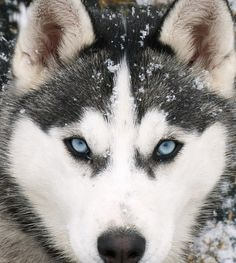 I love the blue eyes of a Siberian Husky