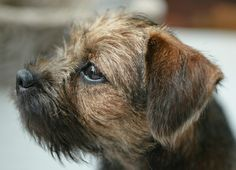 Puck 14 weeks old All Breeds Of Dogs, Best Dog Breeds, Best Dogs, Funny Dogs, Cute Dogs, Border Terrier Puppy, Norfolk Terrier, Dog Best Friend, Brown Dog
