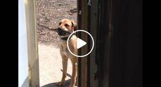 Cão Não Consegue Entrar Em Casa Com Enorme Pau, Mas Depressa Faz Uma Escolha