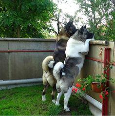Dog Training Name .Dog Training Name Akita Puppies, Cute Puppies, Cute Dogs, Dogs And Puppies, Beautiful Dogs, Animals Beautiful, American Akita Dog, Healthiest Dog Breeds, Asian Dogs