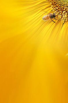 Bee On Sunflower Wallpaper Widescreen Wallpaper, Wallpaper Backgrounds, Wallpapers, Yellow Background, Background Images, Spring Scenery, Honey Brand, Bee Movie, Sunflower Wallpaper
