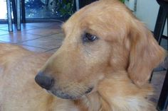 Whinnie from SOUTHERN CALIFORNIA GOLDEN RETRIEVER RESCUE is looking for her forever home.