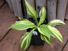 """Kaliedochrome Hosta - 10""""  high by 22"""" wide mound of foliage; 5"""" long by 2 1/2"""" wide  leaves; streaked and mottled, green with large sectors of creamy white and  golden yellow; narrowly ovate blade..."""