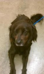 Louise is an adoptable Flat-Coated Retriever Dog in Alpharetta, GA. Make a donation in this dog's name at http://www.angelsrescue.org/#donate An Adoption Application for this dog can be found on our w...