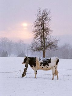 The Cow - farm - ferme - granja - vaca - vache Snow Scenes, Winter Scenes, Country Farm, Country Life, Country Living, Country Kitchen, Country Roads, Beautiful Creatures, Animals Beautiful