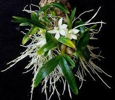 Dendrobium prasinum