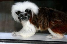 By veronica ebert if karen black was a marmoset she would make me put