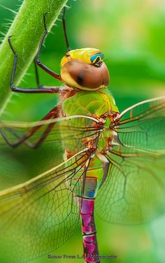 **Dragonfly Closeup