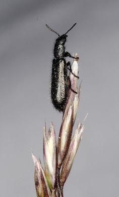 Psilothrix constantini, una nueva especie ibérica de insecto | Ecologistas en Acción