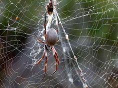 Golden Orb Spider up close