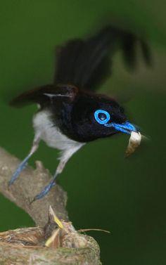 긴꼬리딱새