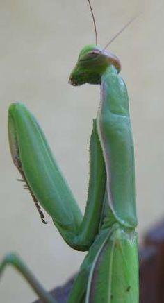 Mantis by SAMLIM Bugs and insects, Praying mantis, Animals