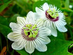 Wild maracuja, Bush passion fruit. Passiflora foetida. Ping pong ball size yellow fruits are mildly flavored. Native to the southwestern U.S., Mexico, and Central and South America. | Flickr - Photo Sharing!