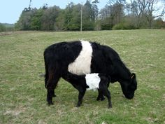 Rare Breeds of Dairy Cattle Breeds Of Cows, Pig Breeds, Rare Breeds, Belgian Blue Cattle, Galloway Cattle, Farm Animals, Cute Animals, Dairy Cattle, Baby Cows