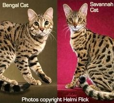 Bengal vs. Savannah