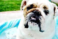 9 Reasons English Bulldogs are the superior dog choice by Sadie Fienberg