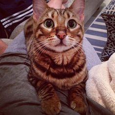 Pippa the Toyger Cats, Animals, Animales, Gatos, Animaux, Animal, Cat, Animais, Kitty