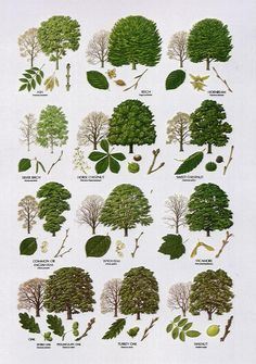 Native Trees - Broad Leaved More Bäume erkennen Garden Trees, Garden Plants, Herb Garden, Forest Plants, Garden Gate, Trees And Shrubs, Trees To Plant, Deciduous Trees, Tree Leaf Identification