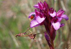 Mantis y orquídea