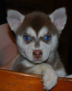 Miniature Alaskan Klee Kai!!! A mini husky I want one so bad