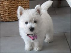 west-highland-white-terrier-13.jpg (800×601)