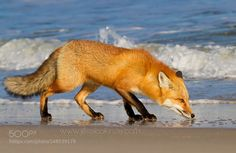 Red Fox Near the Ocean by JessicaKirste #animals #animal #pet #pets #animales #animallovers #photooftheday #amazing #picoftheday