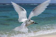 I should get my white tern tatto done soon. My ultimate favourite creature: caring, individual and very pretty.