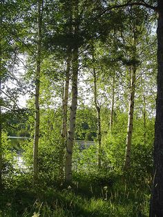 Birch trees in the sun in Puijonlaakso, Finland Happy Summer, Summer Fun, Finland Summer, Taste Of Nature, Norwegian Wood, Spring Pictures, White Lilies, Natural Forms, Wonders Of The World
