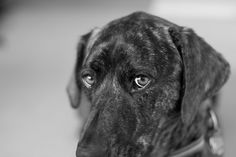 [plott hound] Lucky points her nose down like this a lot, too. I call it her demure look. :-)