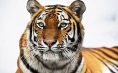 Resultado de imagen para tiger wallpaper
