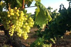 Magrama eleva la producción de vino y mosto español hasta los 39 millones de Hl http://www.vinetur.com/2013092513442/magrama-eleva-la-produccion-de-vino-y-mosto-espanol-hasta-los-39-millones-de-hl.html