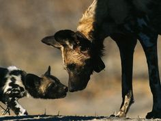 African Wild Dog and Pup