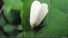 Pests On Ornamentals And Vegetables: Whitefly Treatment In The Garden - Whiteflies are one of the most bothersome that a gardener can have. Controlling whiteflies in the garden is not impossible. Learn how do you get rid of whiteflies in this article.