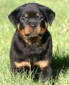 Nothing more beautiful than a Rottweiller puppy.