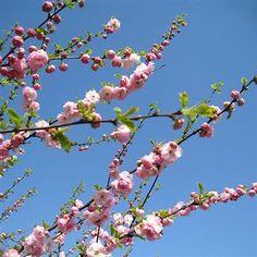 Prunus triloba- Rosenmandel 'Plena'