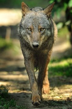sisterofthewolves: Picture by iso0815 Iberian wolf (Canis lupus signatus)