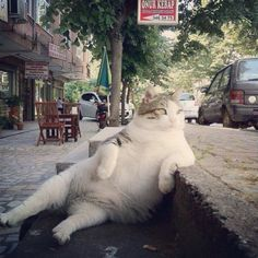 a fat Turkish cat :)