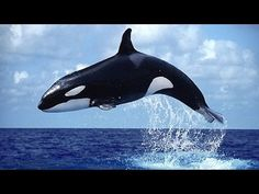 Killer whale are acrobatic on the sea