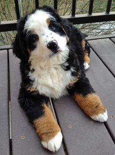Bernese Mountain Dog. Look at those paws! The world was conquered the understanding of dogs; the world exists through the under-standing of dogs--Nietzche