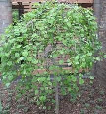 Image result for cercis canadensis covey