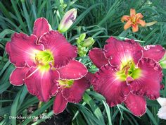 Passion District---6'' bl 28'' tall---mid bloom season and reblooms.  $15.00 DF