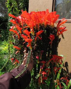 Columnea microphylla | Flickr - Photo Sharing!