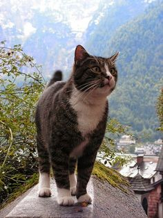 Photo series: cats against the stunning backdrop of Hallstatt, Austria - one of the most beautiful villages of Europe. Click through to see more: http://www.traveling-cats.com/2014/07/cats-from-hallstatt-austria.html