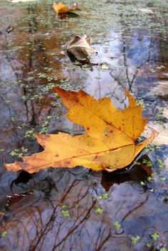 Missisquoi - Black Creek Yellow Leaf w Algae 3 Autumn Art, Autumn Leaves, October Country, Pool Colors, Seasons Of The Year, Yellow Leaves, Pictures To Paint, Dusk, Beautiful Scenery