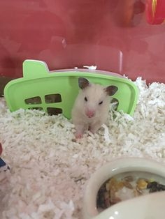 She doesn't look too thrilled after getting her sleep disturbed. #aww #Cutehamsters #hamster #hamstersofpinterest #boopthesnoot #cuddle #fluffy #animals #aww #socute #derp #cute #bestfriend #itssofluffy #rodents