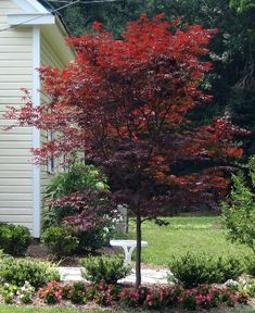 Emperor1 Japanese Maple - A must have in Your landscape!