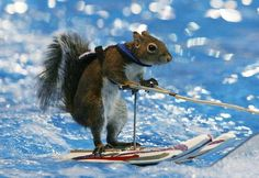 water skiing squirrel